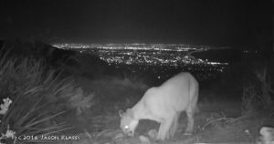 Mountain Lion Above Santa Monica Bay Still