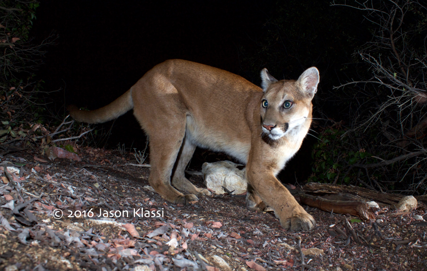 Whiskers the mountain lion camera-trapped by Jason Klassi