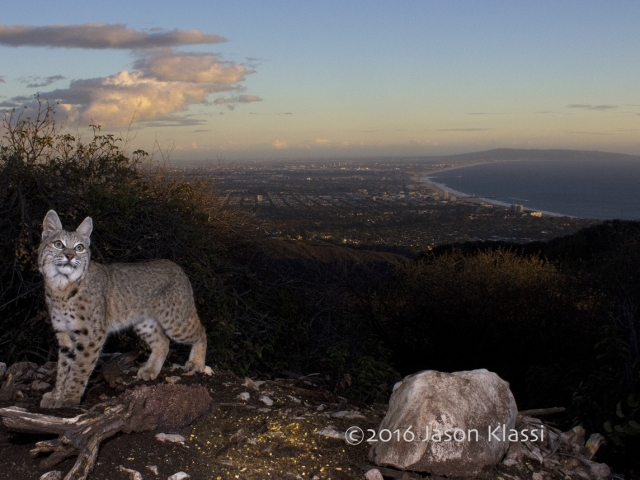 A local bobcat visits my camera trap on the edge of civilization high up in the Santa Monica Mountains. © Jason Klassi