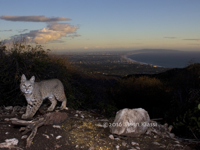 A local bobcat looks straight into my camera trap high up in the Santa Monica Mountains.   © Jason Klassi