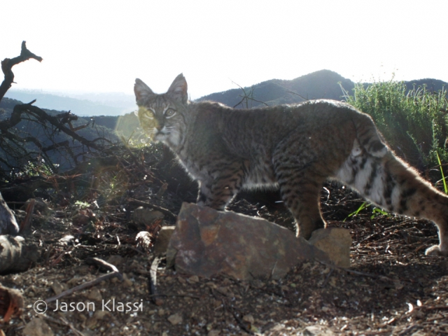 Bobcat glares in the morning sun and lens flare.  ©Jason Klassi