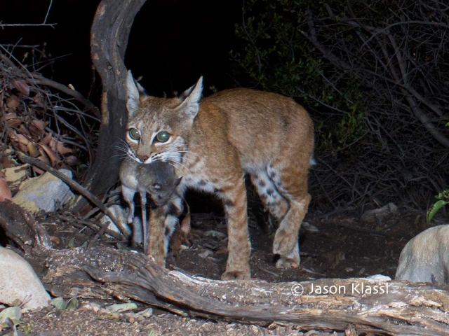 This bobcat passed by with prey in mouth on a hot summer evening. © Jason Klassi