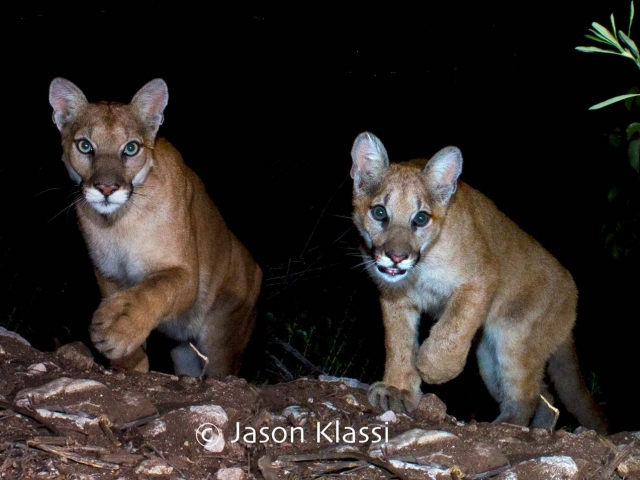"Here is a composite image of 2 cougars who passed by my trail cam recently. I've nicknamed them ""Chippewa"" and ""Yoda""."