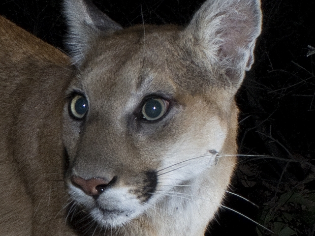 Comet the Cougar's closeup.  I've seen him several times as a very young cub traveling with mom.   © Jason Klassi