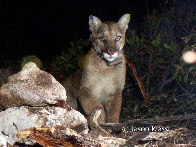 The young cougar I've come to call Comet has been collared and.  Comet seems a natural for the spotlight and a good ambassador for the Liberty Canyon Wildlife Crossing #saveLAcougars