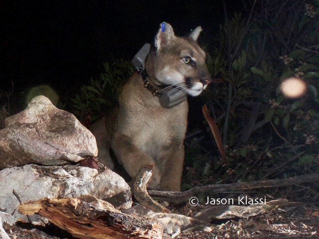 "Comet the Cougar appears to be one of the 'official' new kids in the mountains. With the collar and ear tags, I now call him ""Bling""."