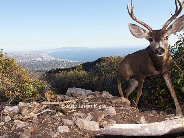 This California mule deer stopped by my trail cam high above the Santa Monica Bay.  ©2017 Jason Klassi