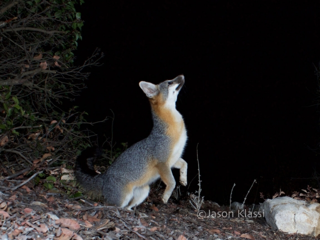 A California gray fox prepares for liftoff.