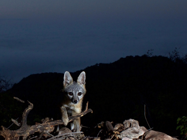 This California grey fox poses high above the coastal clouds.  ©Jason Klassi