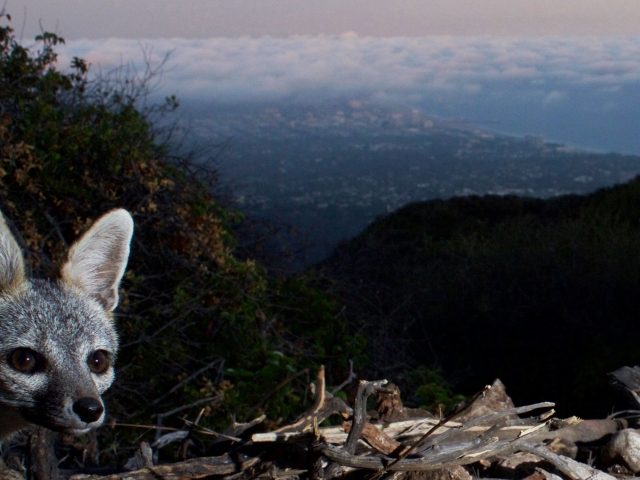 This fox takes a 'selfie' on my DSLR camera trap above the Pacific Ocean.  © Jason Klassi