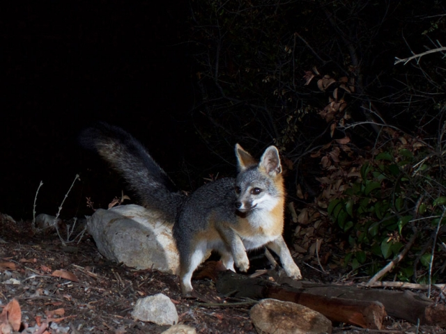 California gray fox safely lands back on Earth.