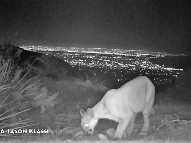 This is a still image from one of my first camera trap videos of a mountain lion abve West Los Angeles.  ©Jason Klassi