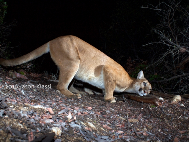Comet the Cougar takes a moment ot scratch his head on a log. ©Jason Klassi