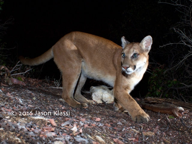 Comet the Cougar puts his best paw forward.  © Jason Klassi  @mountain lion @puma @P22 @Jason Klassi