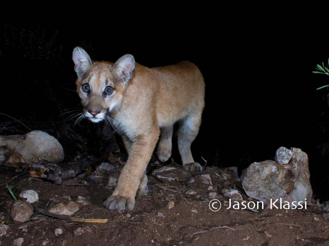 """Yoda"" explores the scene. There are still faint spots in this juvenile cougar's furry coat.  © Jason Klassi"