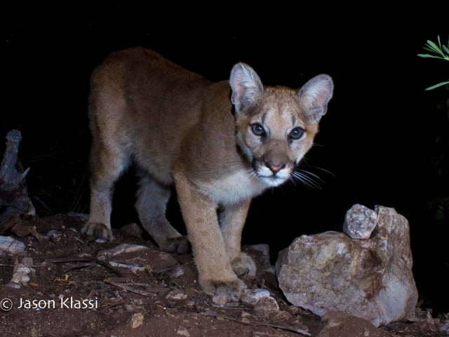 """Yoda"" seems to exude some timeless wisdom for such a young cougar.  © Jason Klassi"