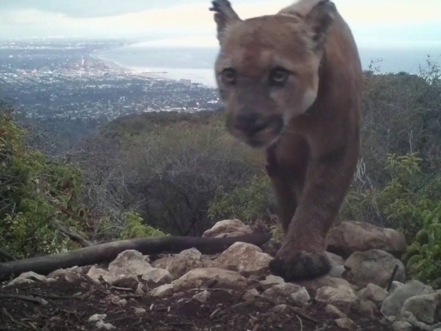 """Raggedy"" is a mountain lion I captured on my trail cam that appears either mangy or somewhat mangled. You may notice that the GPS tracking collar hasn't fallen off like it should have.    © 2016 Jason Klassi"