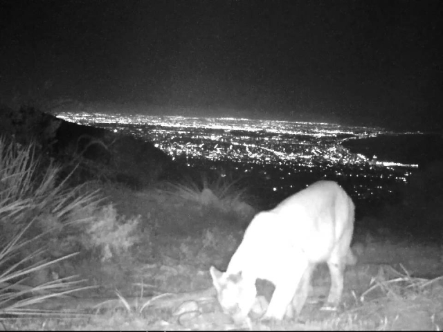 "The mysterious mountain lion ""Lionessa"" appears like a mythical creature above Santa Monica Bay.    © Jason Klassi"