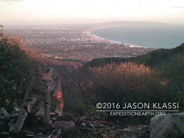 """Bob Gato"" at sunset above Santa Monica Bay. Video my Browning trail cam captured while my DSLR flashed away. © Jason Klassi"