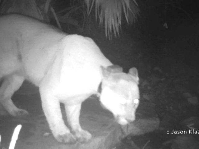 My very first video of a mountain lion!!  P27 leaps across a watering hole.  © Jason Klassi