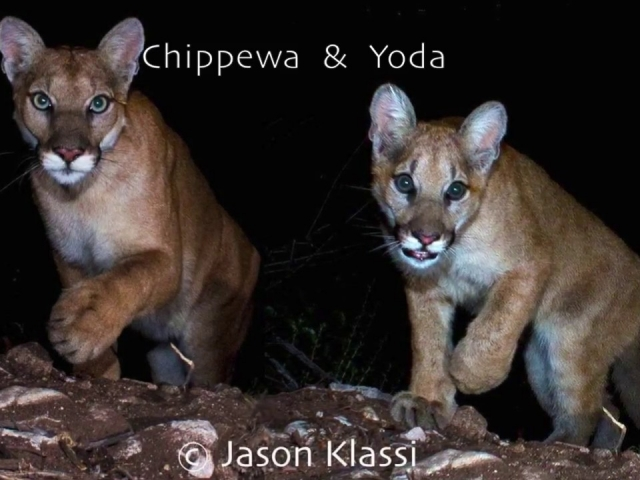 "Here is a video of ""Chippewa"" and ""Yoda."" An intrusive stick photobombed my video so I included some of the still images with an unobstructed view of the daring duo."