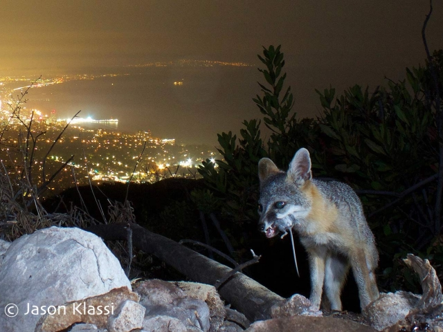 California Grey Fox with prey above the city lights by Santa Monica Bay. © Jason Klassi