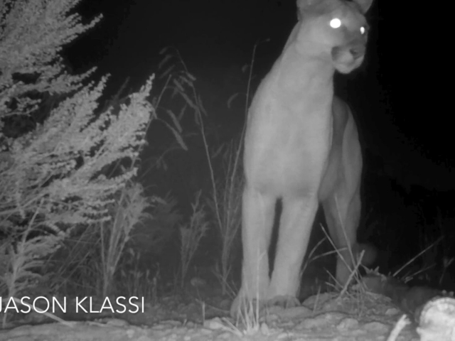 """Chippewa"" the cougar passes by my trail-cam on the ridge above Santa Monica. © Jason Klassi"