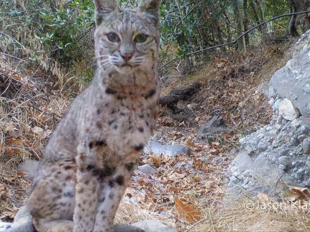 A curious bobcat stops and listens to birds in remote Santa Monica Canyon.