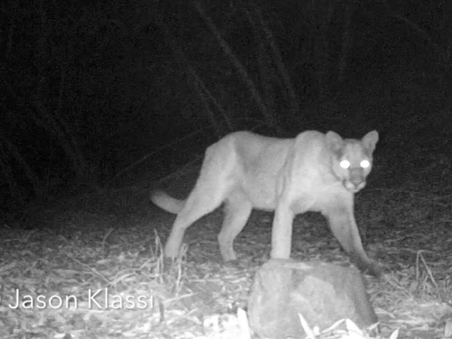 Chippewa the Puma passes by my infrared trail camera first in the twilight and then 2 days later in the dark of night. © Jason Klassi