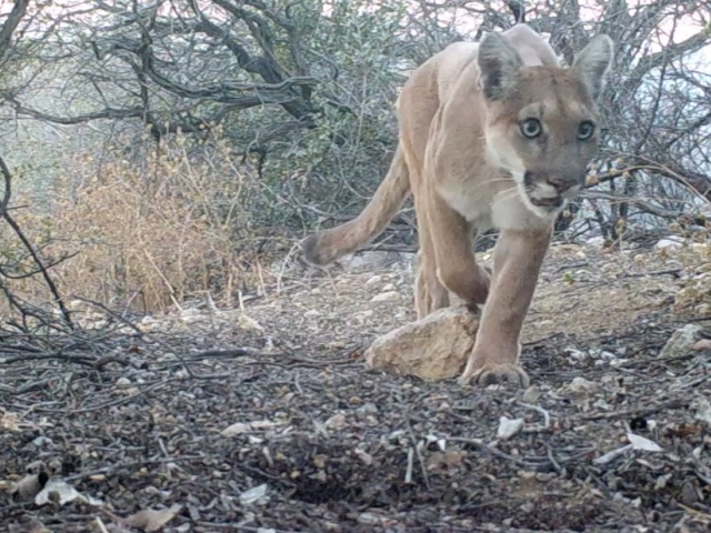 """Chippewa"" the Puma passes by my trail cam at eye level."