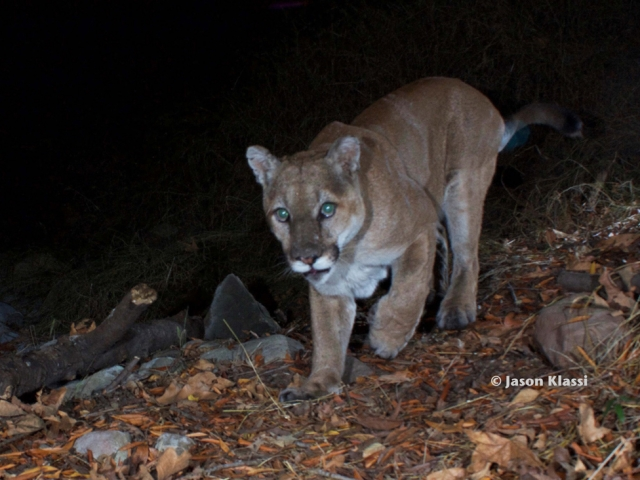 Son of P1 and father of many Santa Monica Mountain lions.